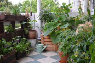 Ihr habt nur einen kleinen Balkon zur  Verfügung? Ich würde behaupten, das macht nichts! Auch dort kann ein kleiner Dschungel entstehen.  5 m² reichen aus, um Küchenkräuter, Tomaten, Süßkartoffel, Gurke, Aubergine, Brennnessel, Salat, Bienenweide, Kapuzinerkresse und Kürbis im Miniformat anzubauen. Zugegeben, gegen einen Kleingarten kann man so nicht ansticken. Aber morgens nach dem Aufstehen, mit einem frisch gebrühten Kaffee in der Hand, die Tomaten und Hummeln auf dem Balkon zu zählen, das bringt auf alle Fälle Spaß :D. Was habt ihr denn so auf eurem Balkon wachsen? 🥰 #Schrebby #urbangardening #mitmachgarten