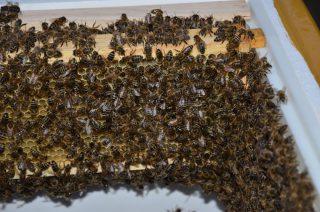 Die meiste Zeit predige ich eigentlich, dass Bienen nicht stechlustig sind und selten aggressiv. Die meiste Zeit sind Bienen in ihrer eigenen Welt und interessieren sich reichlich wenig für Menschen in ihrer Umgebung.   Doch am Wochenende hatten wir einen Zwischenfall im Garten, dass Bienenstiche ausnahsmweise doch auf unserer Tagesordnung gelandet sind. Zwei Gärtnerinnen haben in der Nähe der Bienenkästen Unkraut gejätet und es endete mit zwei Bienenstichen in der Hand und einem am Auge. Zum Glück sind alle beide sehr robust und konnten schon einige Stunden später herzhaft darüber lachen.   Ich muss zugeben, ich bin da weniger robust und bin auf die Suche nach guten Gegenmitteln im Fall der Fälle gegangen.   Empfehlung der Imkerin: Hitzestab, da Bienengift aus Proteinen bestehen, welche bei 60°C zersetzt werden. Vorher unbedingt den Stachel schnell aus der Haut entfernen.   Empfehlung von Nils: Tinktur aus Schwedenkräutern. Er hat miterlebt, wie ein Bienenstich in kürzester Zeit völlig verschwunden war, nachdem der Stich damit eingerieben wurde.   Verrückteste Empfehlung von Elke: Ohrenschmalz :D! Als Kind vor vielen Jahren wurde dieses Hausmittel bei ihr eingesetzt, welches wir alle sofort zur Hand hätten. Damals kamen die Erwachsenen, haben kurz im Ohr gestöbert und anschließend den Schmalz auf einen Stich geschmiert. 😁  Aber auch Spitzwegerich oder Zwiebel werden heilsame Kräfte nachgesagt.  Abschließend bin ich ganz beeindruckt, welche Erste-Hilfe-Maßnahmen von früher bis heute angewendet wurden. Ich habe eine Tinktur aus Schwedenkräuter gekauft und bin gespannt, ob sie halten, was sie versprechen :). Bis dahin beobachte ich aber weiterhin verliebt die lieben Bienchen.🥰 #Schrebby #Urbangardening