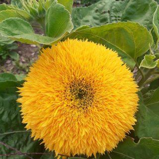 Gefüllte Sonnenblumen, eine Riesensonnenblume und, wer hätte es gedacht, Topinambur. Ihr kennt Topinambur bestimmt als schmackhafte Knolle. Sie gehört auch zur Familie der Sonnenblumen und blüht traumhaft schön. #schreberjugendniedersachsen #urbangardening #sonnenblume